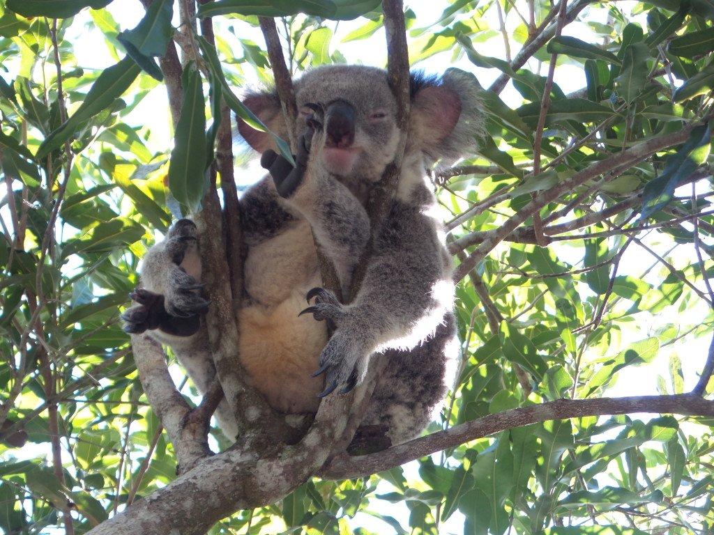 A koala at Lone Pine Koala Sanctuary